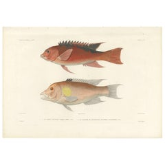 Antique Fish Print of Two Types of Wrasse by Gide, 1846