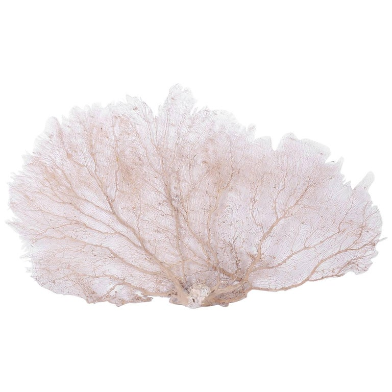 Giant White Sea Fan