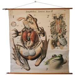Anatomical, Zoologie Wall Chart by Dr. Paul Pfurtscheller from an Amphibian