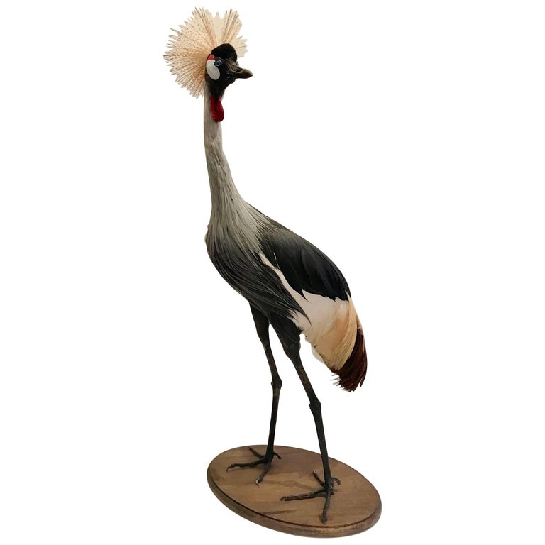 Very Large Taxidermy African or Grey Crowned Crane