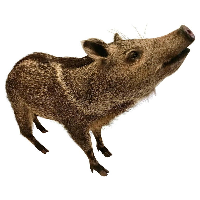 Taxidermy Collared Peccary