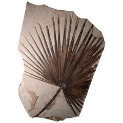 Giant Green River Palm Frond Fossil Leaf