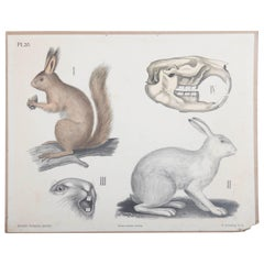 "Antique Swedish School, Teaching Chart, Poster ""Lepus"""