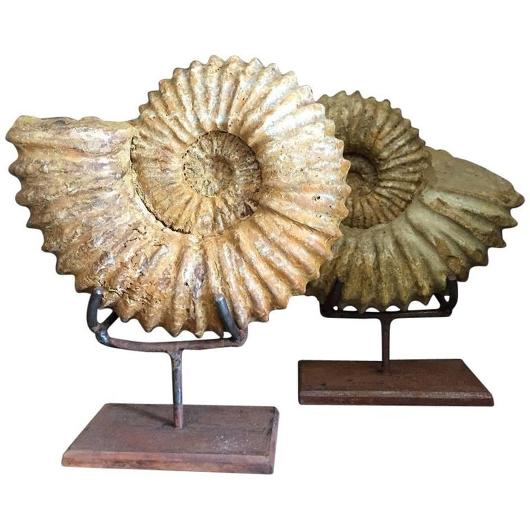 Pair of Ammonites, Ammonite Fossil
