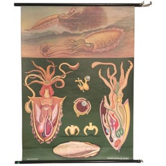 Vintage German Roll Up Chart 'the Cuttlefish, Jung Koch Quentell, Germany, 1973