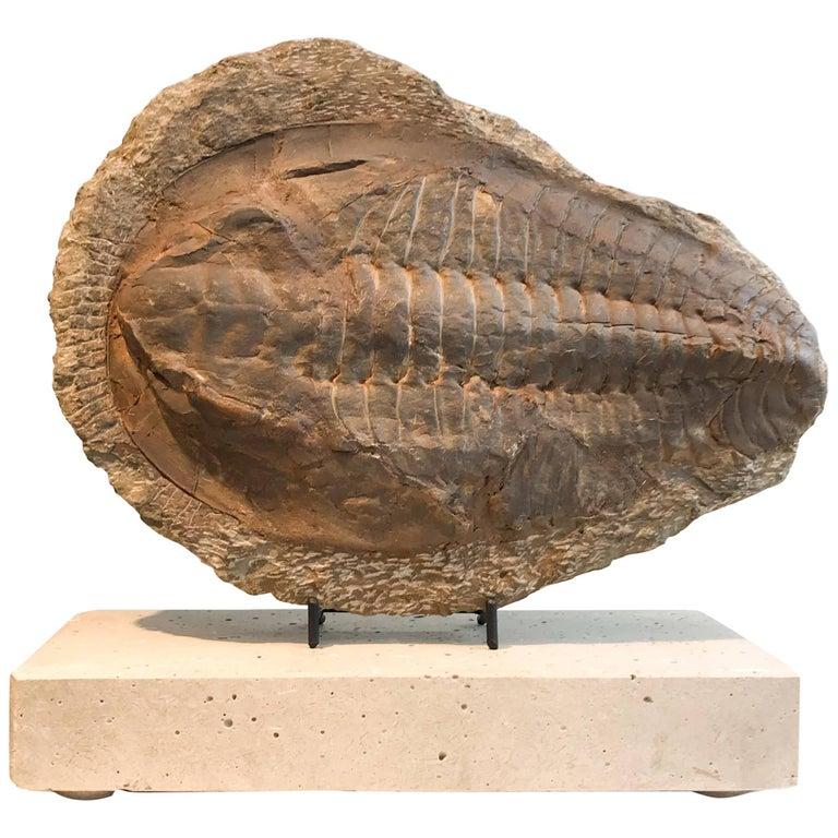 Giant Trilobite Fossil