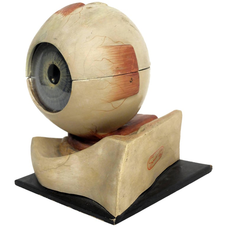 Anatomical Model of the Eye, Complete, Somso, Sonnenberg, Germany, circa 1900