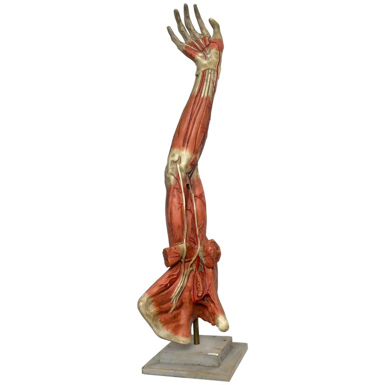 Anatomical Model of an Entire Arm Made by Paravia, Milano, Italy, circa 1890