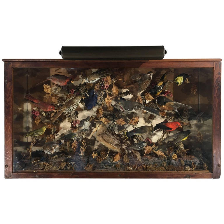 Antique Victorian Taxidermy Birds Case with Light Mount