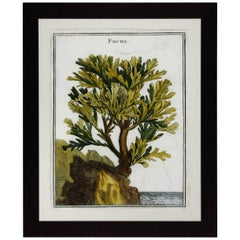 18th Century Botanical Seaweed Print from Natural Curiosities