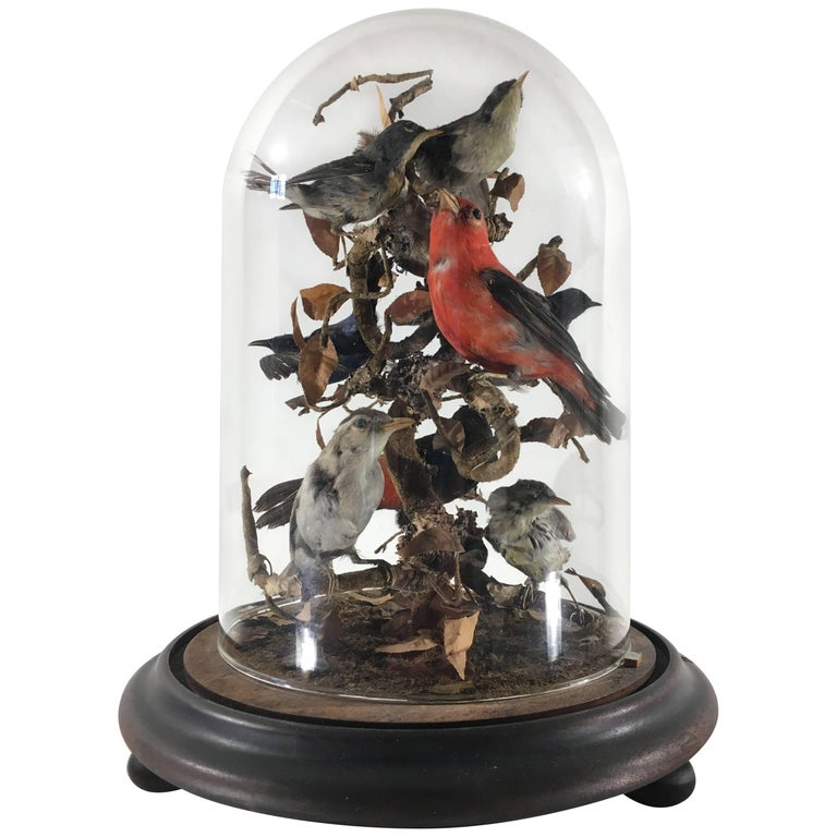 Victorian Cased Taxidermy Birds under Dome
