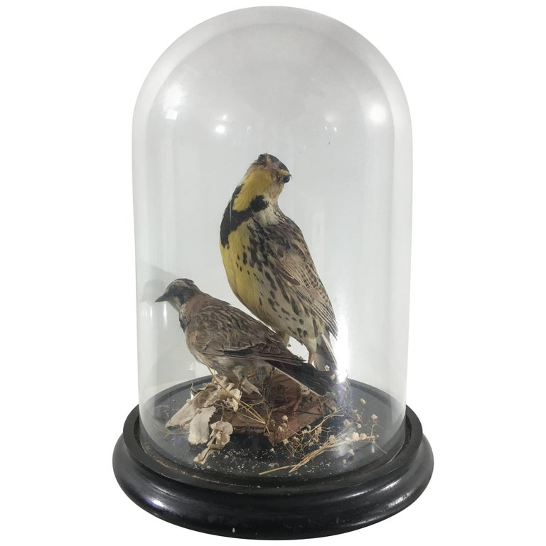 Victorian Exotic Taxidermy Birds in Case