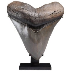 Huge Pristine Megalodon Tooth Fossil