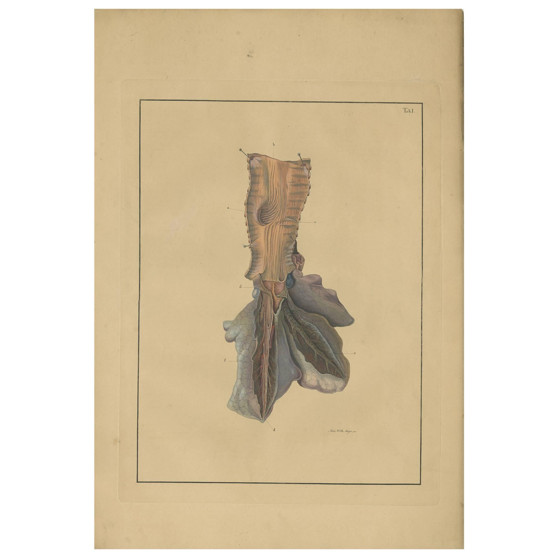 Antique Medical Print of Lungs 'Tab. 1' by F.D. Reisseisen, 1822