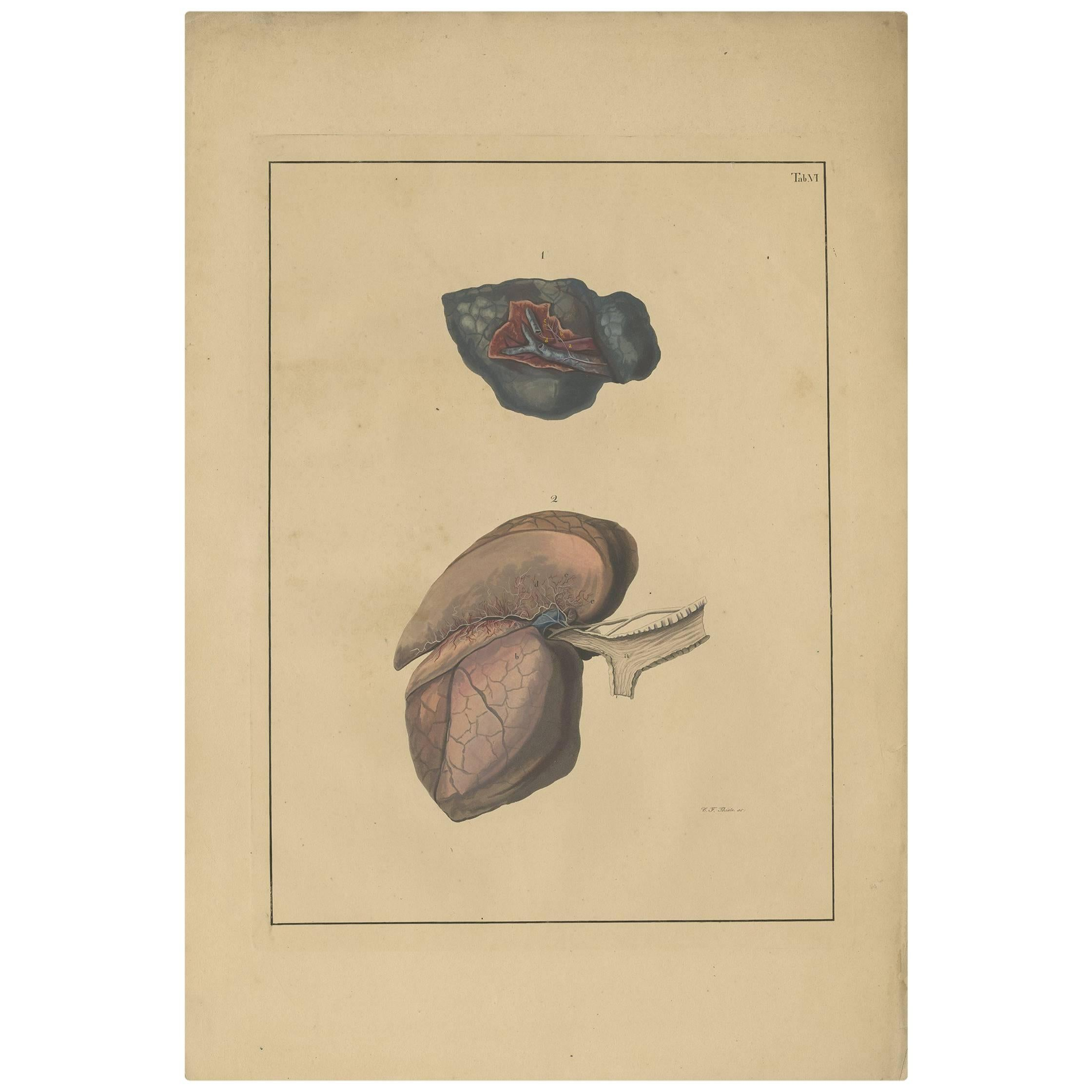 Antique Medical Print of Lungs 'Tab. 6' by F.D. Reisseisen, 1822