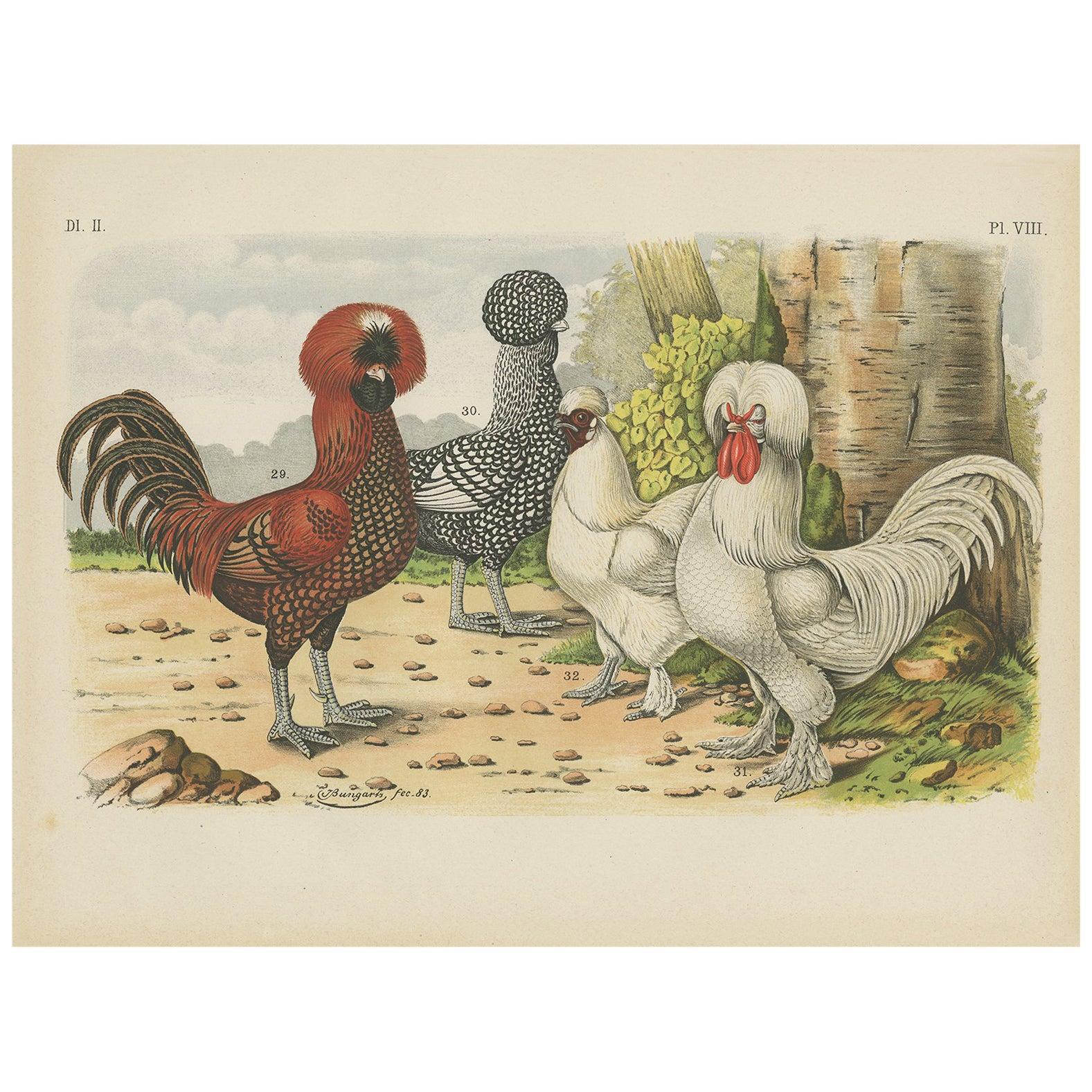 Antique Bird Print of Polish or Poland Chickens (1886)