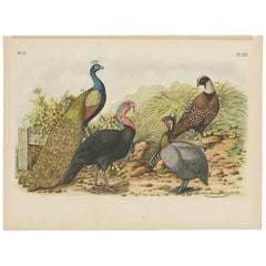 Antique Bird Print of a Peacock, Turkey and Pheasants (1886)