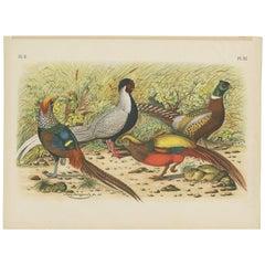 Antique Bird Print of various Pheasants (1886)