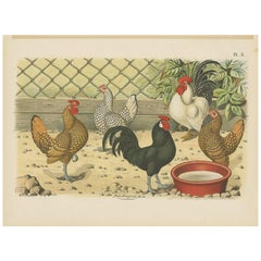 Antique Bird Print of various Roosters and Chickens (1886)