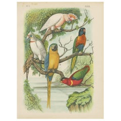 Antique Bird Print of the Cockatoo, Blue-Mountain Lory and Maccaw (1886)