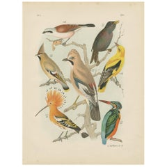 Antique Bird Print Golden Oriole-Kingfisher-Hoopoe-Starling by A. Nuyens, 1886