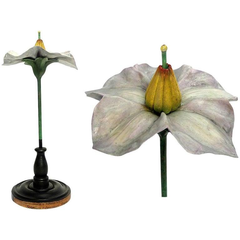 Botanic Flower Model Scientific Specimen, Milan Paravia, circa 1900
