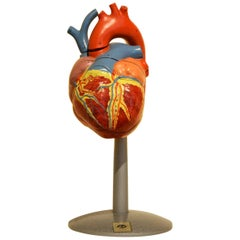 1960s Vintage Anatomical Heart Model with Five Removable Parts from DDR