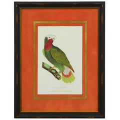 English Hand-Colored Ornithological Print of a Parrot