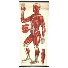 Antique Anatomical Human Front Muscular Structure Chart, Germany, 1900