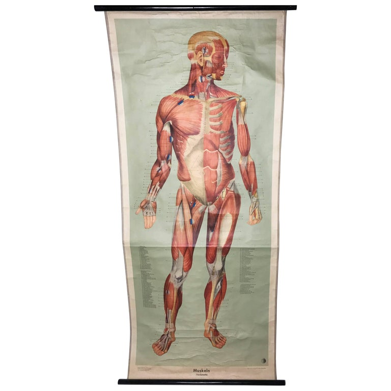 Vintage Anatomical Human Front Muscular Structure Chart, 1961, Germany