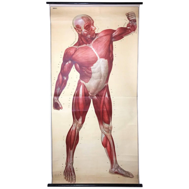Vintage Anatomical Human Front Muscular Structure Chart, 1950s, Germany