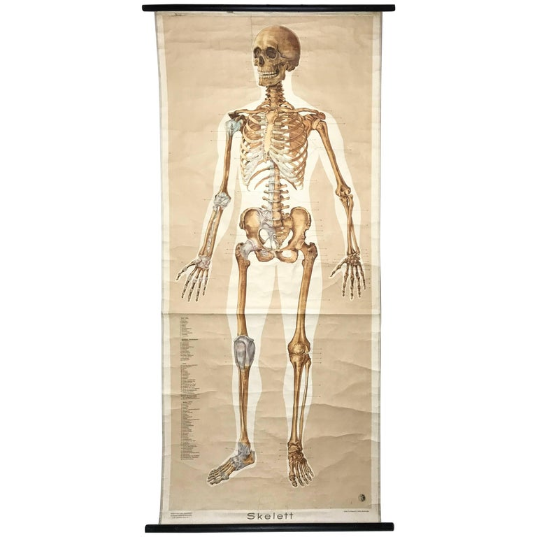 Vintage Anatomical Human Front Skeleton Structure Chart, 1961, Germany