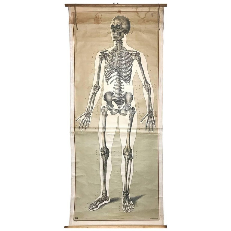 Vintage Anatomical Human Front Skeleton Structure Chart, 1940s, Germany