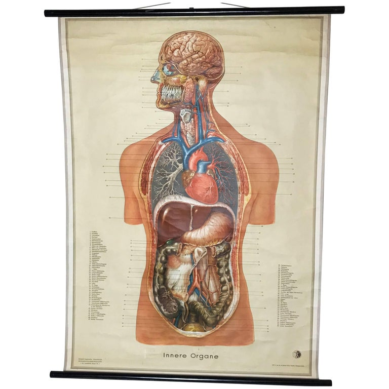 Vintage Anatomical Human Internal Organs Structure Chart 1951