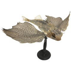 Flying Fish Natural Specimen Proceeding from an Italian Wunderkammer, circa 1880