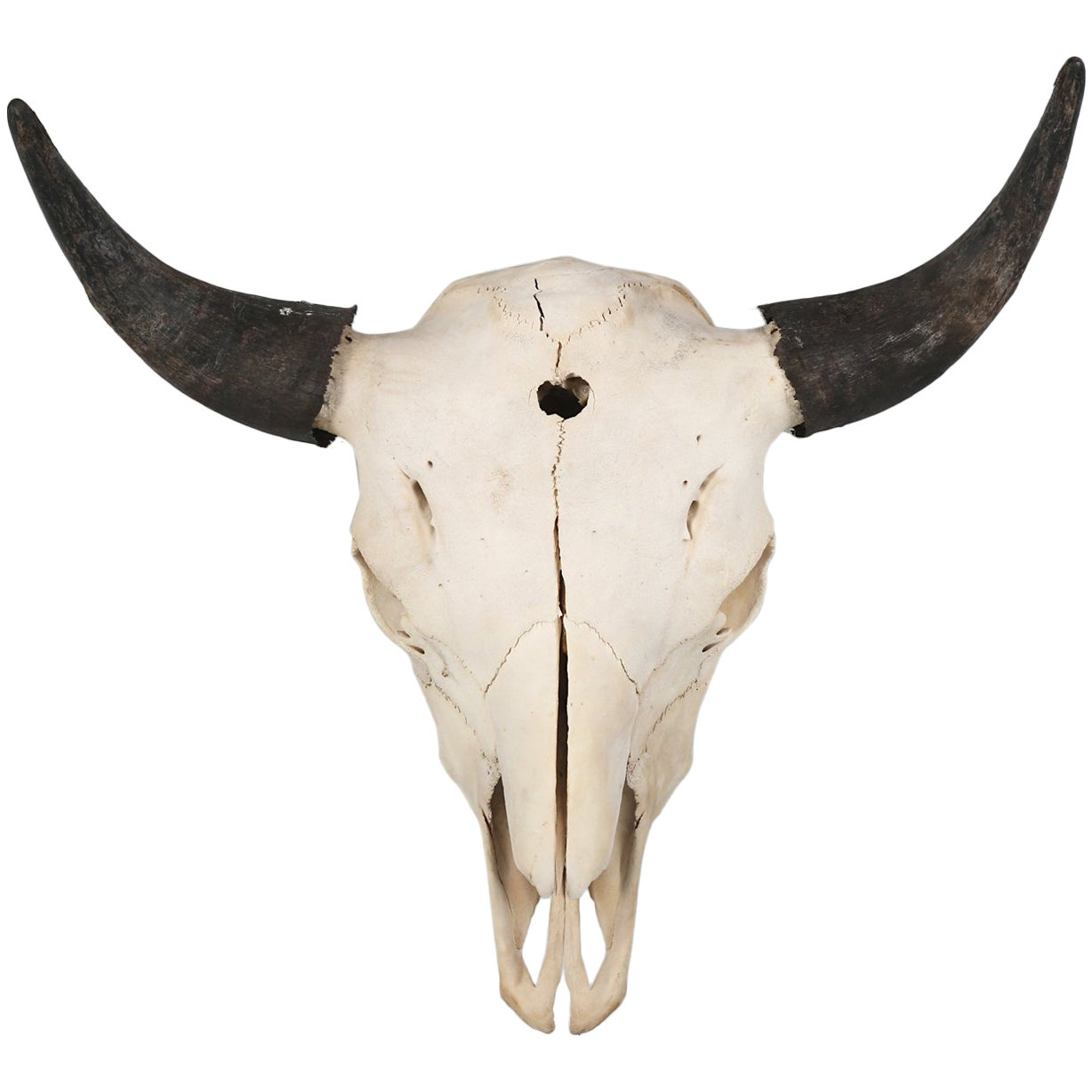 Large Herd Bull Bison Skull with a Horn Spread