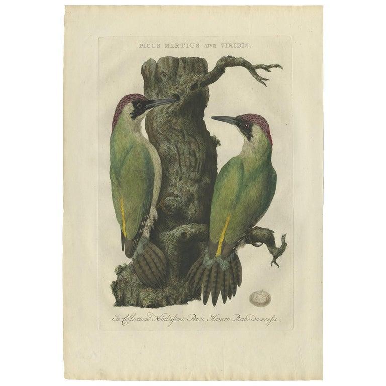 Antique Bird Print of the Green Woodpecker by Sepp & Nozeman, 1770