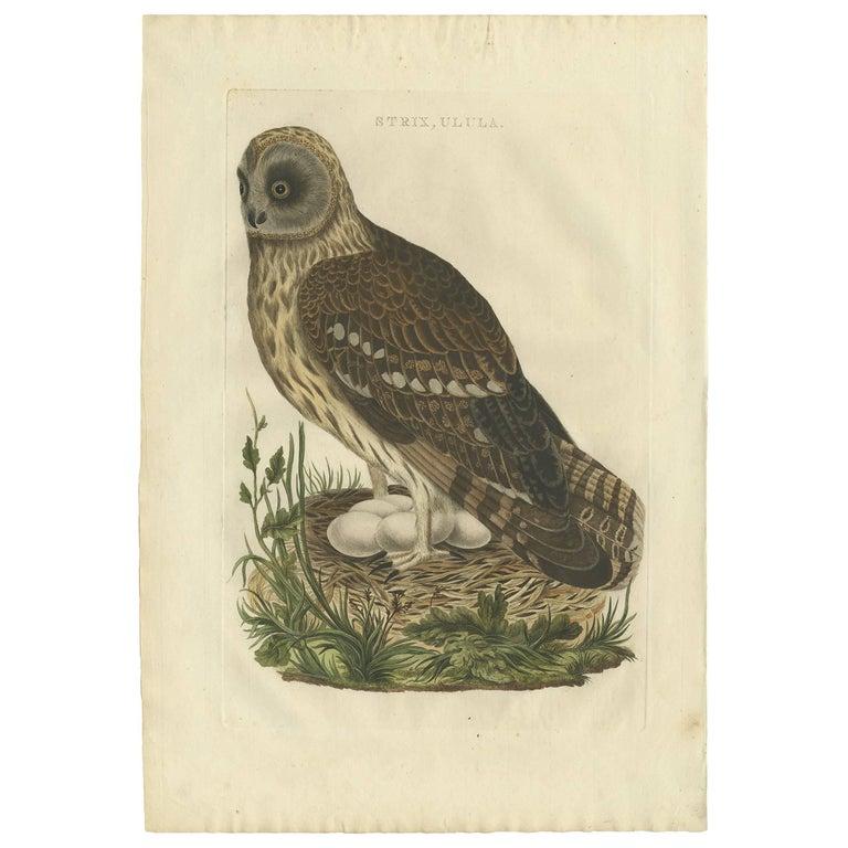 Antique Bird Print of the Strix 'Owl' by Sepp & Nozeman, 1770