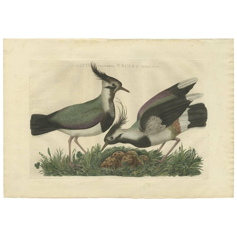 Antique Bird Print of the Northern Lapwing by Sepp & Nozeman, 1770