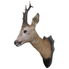 Antique Victorian Mounted Head Taxidermy Roe Deer