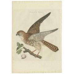 Antique Bird Print of the Eurasian Sparrowhawk by Sepp & Nozeman, 1797