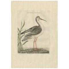 Antique Bird Print of a White Sandpiper by Sepp & Nozeman, 1797