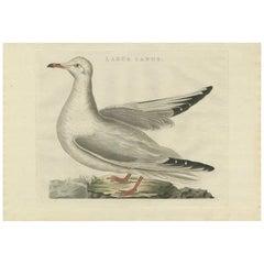 Antique Bird Print of the Common Gull by Sepp & Nozeman, 1797