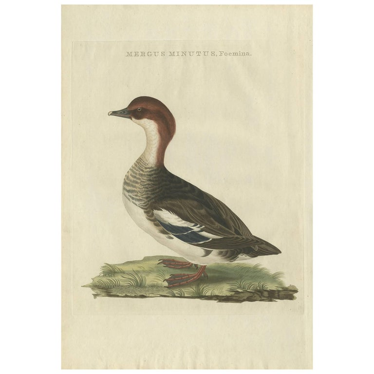 Antique Bird Print of a Merganser by Sepp & Nozeman, 1809