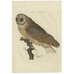 Antique Bird Print of the Barn Owl by Sepp & Nozeman, 1809