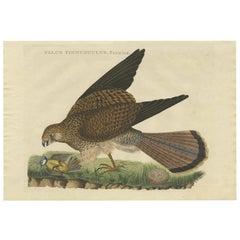 Antique Bird Print of a Common Kestrel by Sepp & Nozeman, 1809