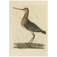 Antique Bird Print of the Black-Tailed Godwit by Sepp & Nozeman, 1809