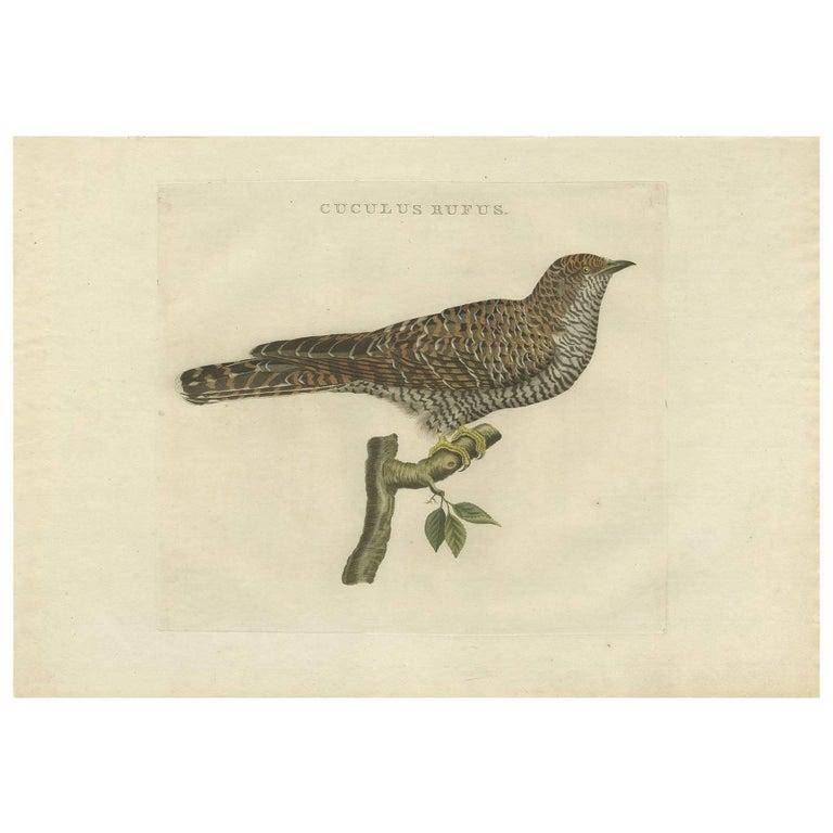 Antique Bird Print of the Common Cuckoo by Sepp & Nozeman, 1809