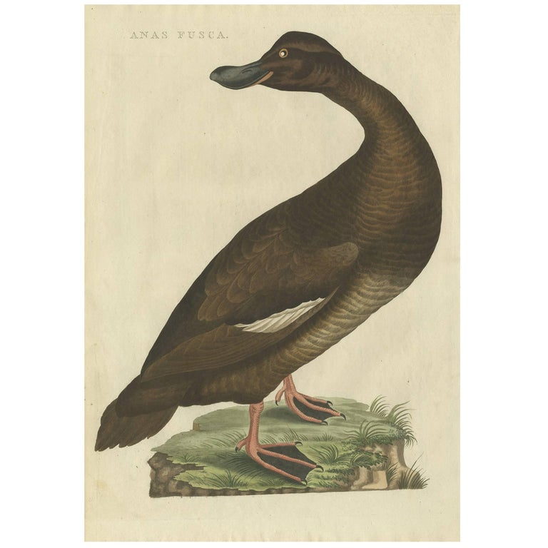 Antique Bird Print of the Velvet Scoter by Sepp & Nozeman, 1809
