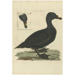 Antique Bird Print of the Common Scoter by Sepp & Nozeman, 1809